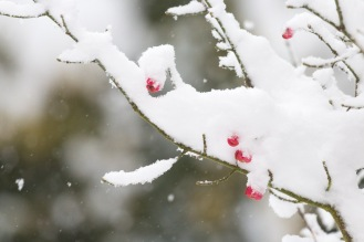Snow gathering on the branches of a spindleberry tree, with the bright berries poking through.