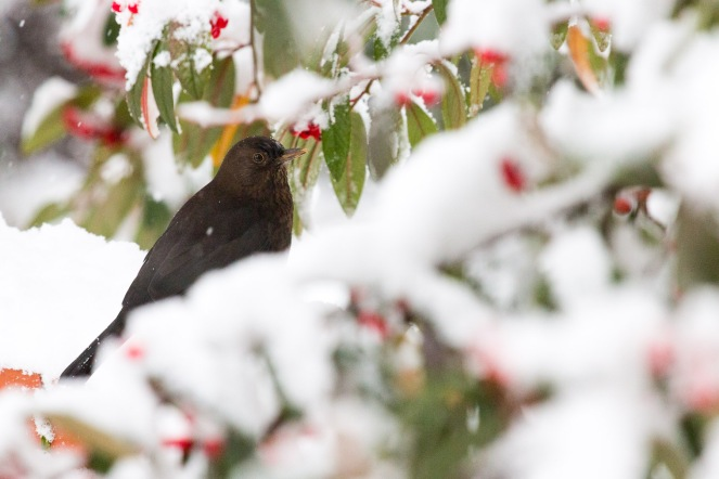 A female blackbird in amoungst snow covered branches, picking off the berries.