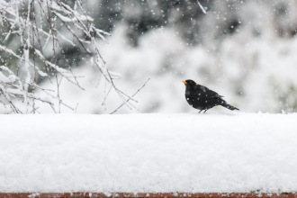 Male blackbird sitting up top of a snow covered wall, with snowflakes falling around him.