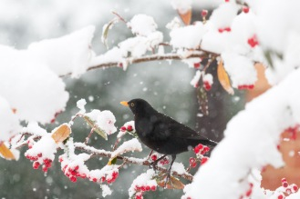 Snow settling on the back of a male blackbird, feeding on the winter berries.
