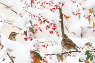 A couple of redwings amongst the snowy branches, picking off the berries.